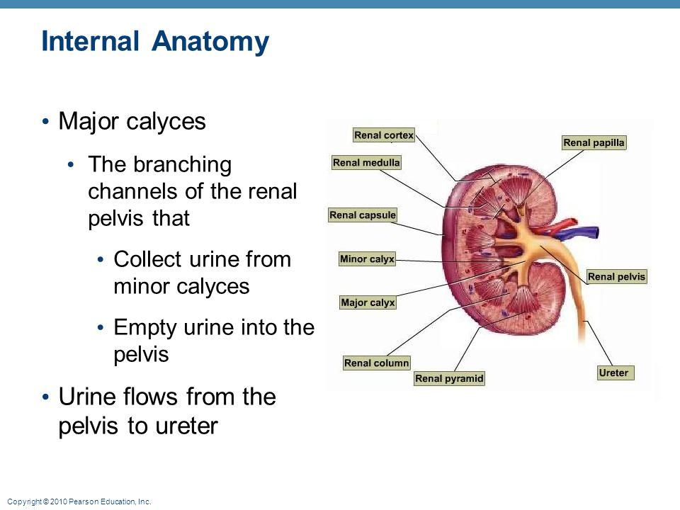 Internal Anatomy Major calyces Urine flows from the pelvis to ureter