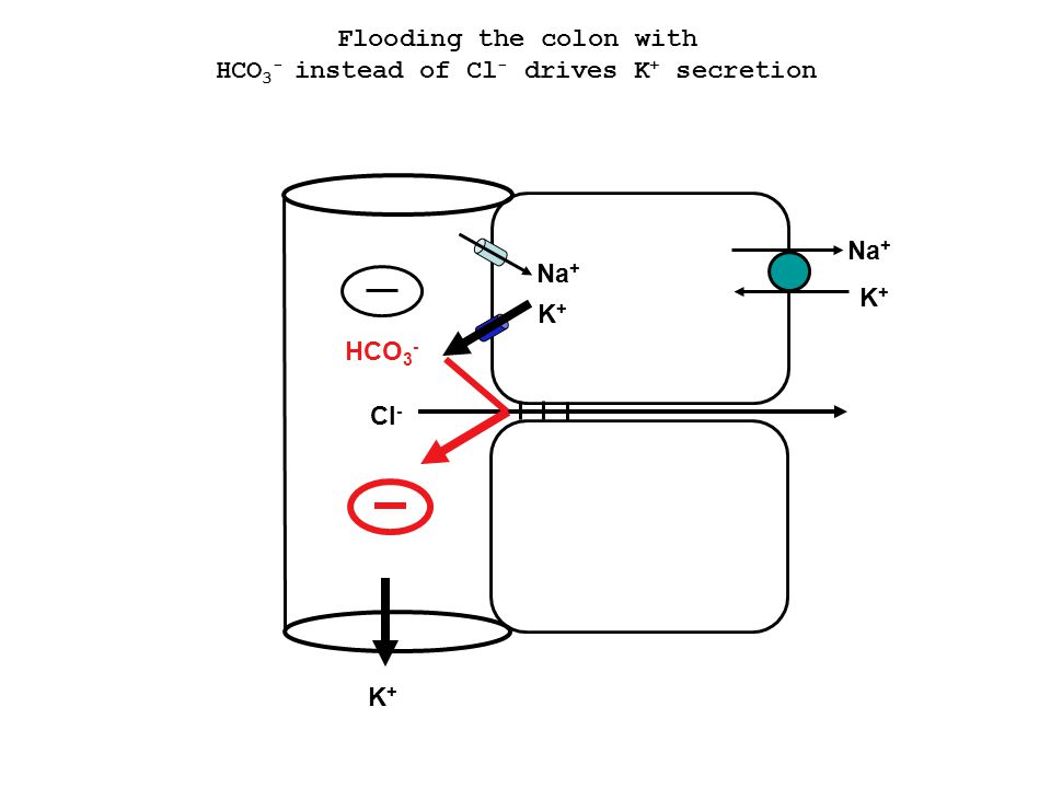Flooding the colon with HCO3- instead of Cl- drives K+ secretion