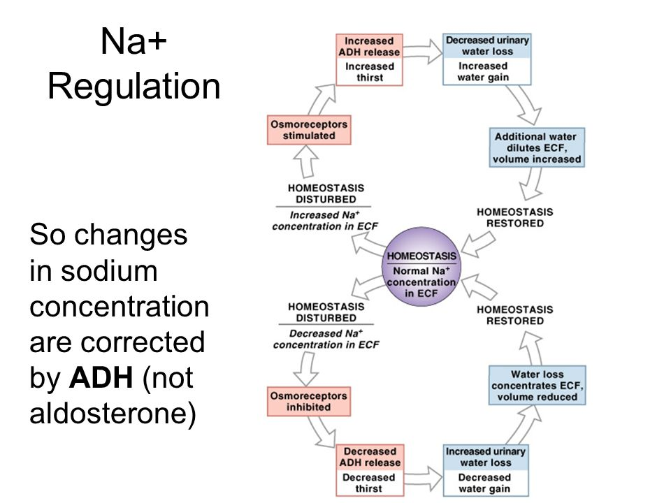 Na+ Regulation So changes in sodium concentration are corrected by ADH (not aldosterone) Figure 27–4.