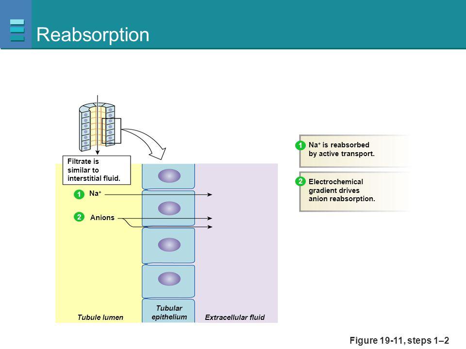 Reabsorption Figure 19-11, steps 1–2 1 Na+ is reabsorbed