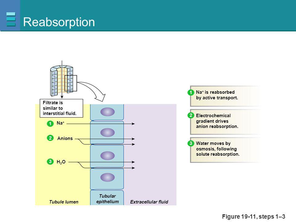 Reabsorption Figure 19-11, steps 1–3 1 Na+ is reabsorbed