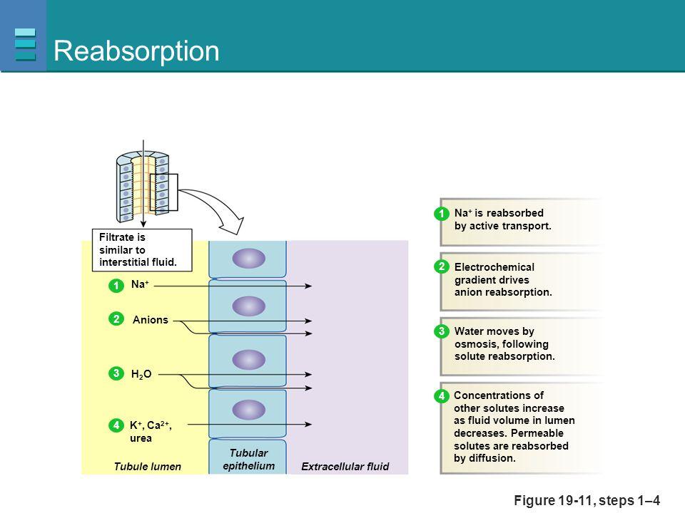 Reabsorption Figure 19-11, steps 1–4 1 Na+ is reabsorbed