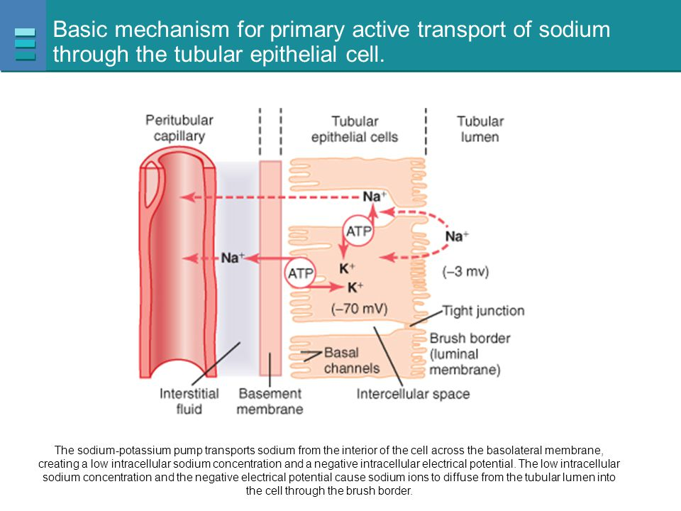 Basic mechanism for primary active transport of sodium through the tubular epithelial cell.