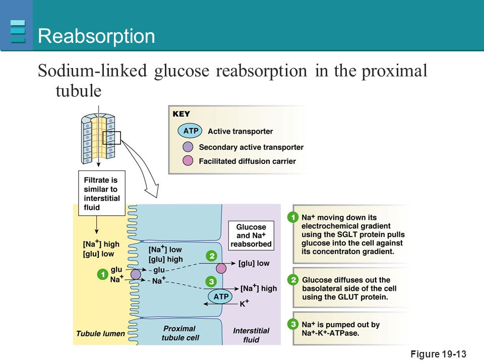 Reabsorption Sodium-linked glucose reabsorption in the proximal tubule