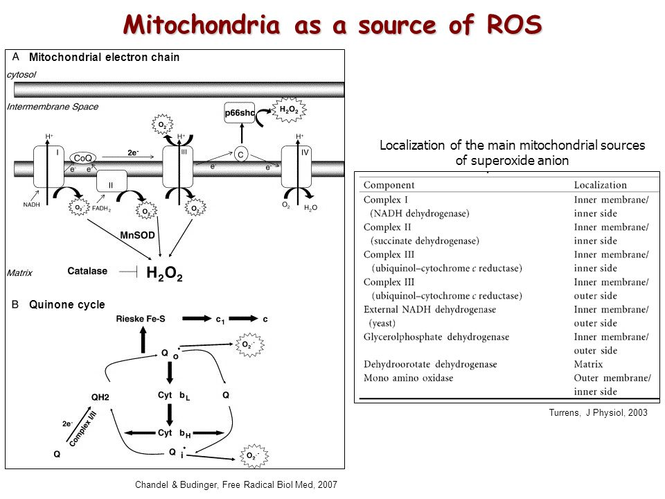 Localization of the main mitochondrial sources of superoxide anion