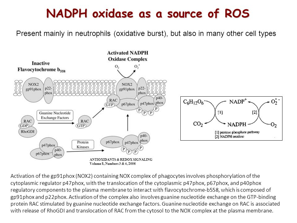 NADPH oxidase as a source of ROS