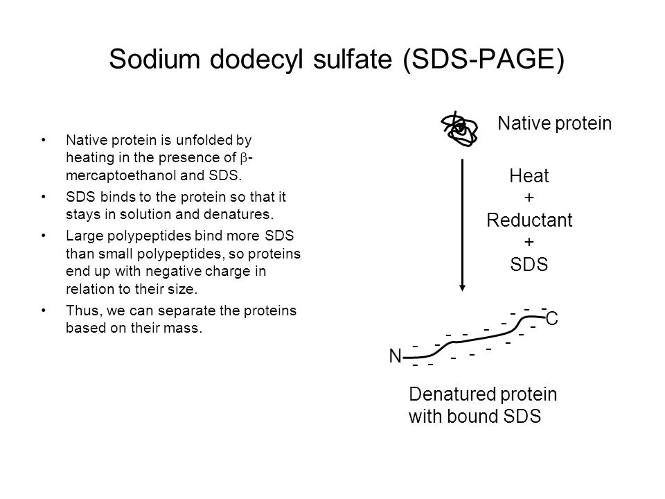 Sodium dodecyl sulfate (SDS-PAGE)