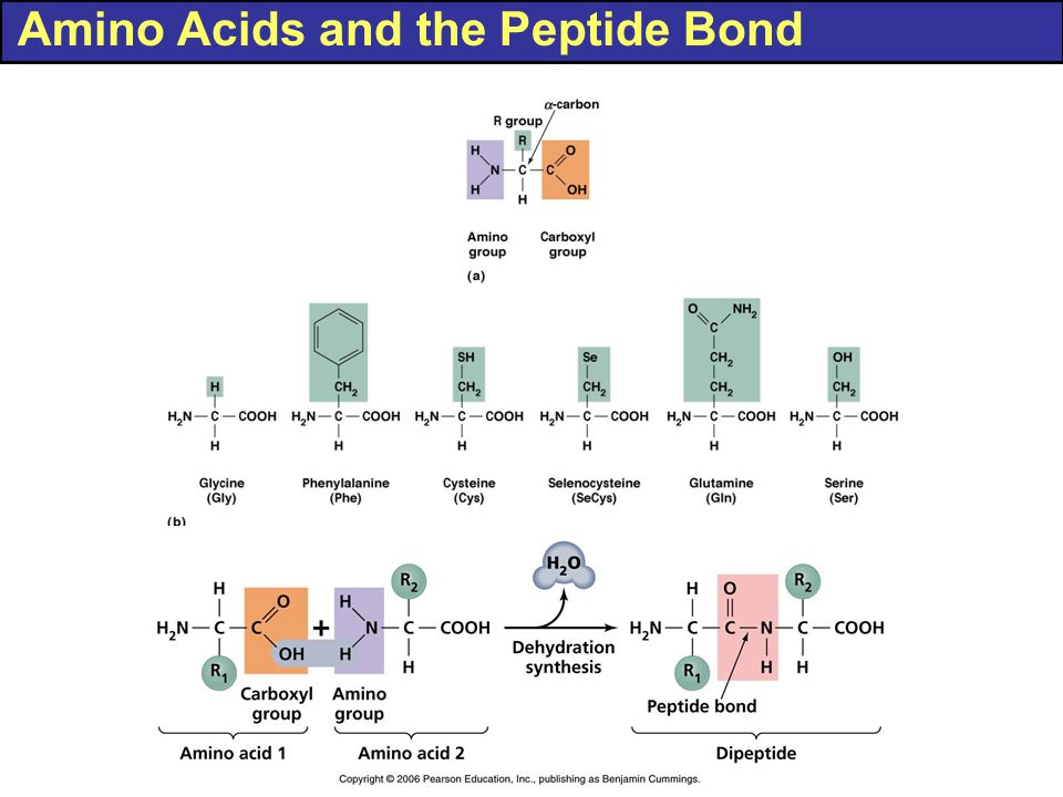 Amino Acids and the Peptide Bond