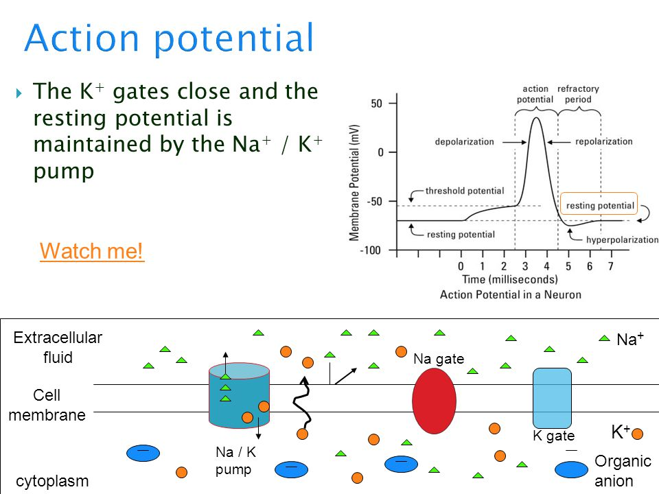 Action potential The K+ gates close and the resting potential is maintained by the Na+ / K+ pump.