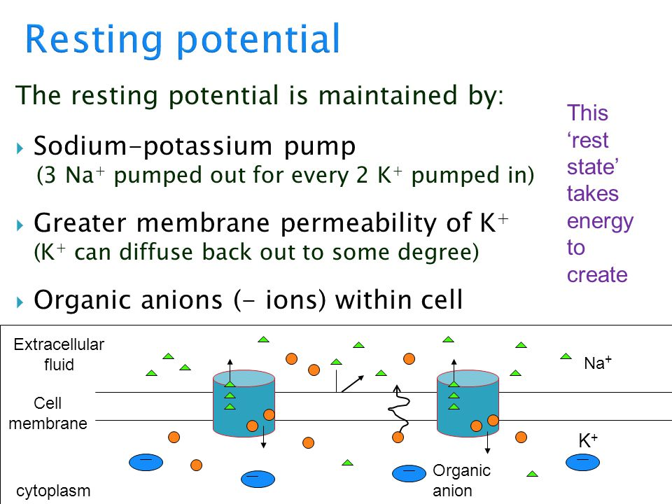 Resting potential The resting potential is maintained by: