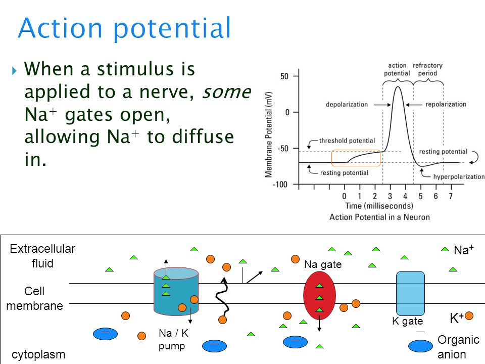 Action potential When a stimulus is applied to a nerve, some Na+ gates open, allowing Na+ to diffuse in.