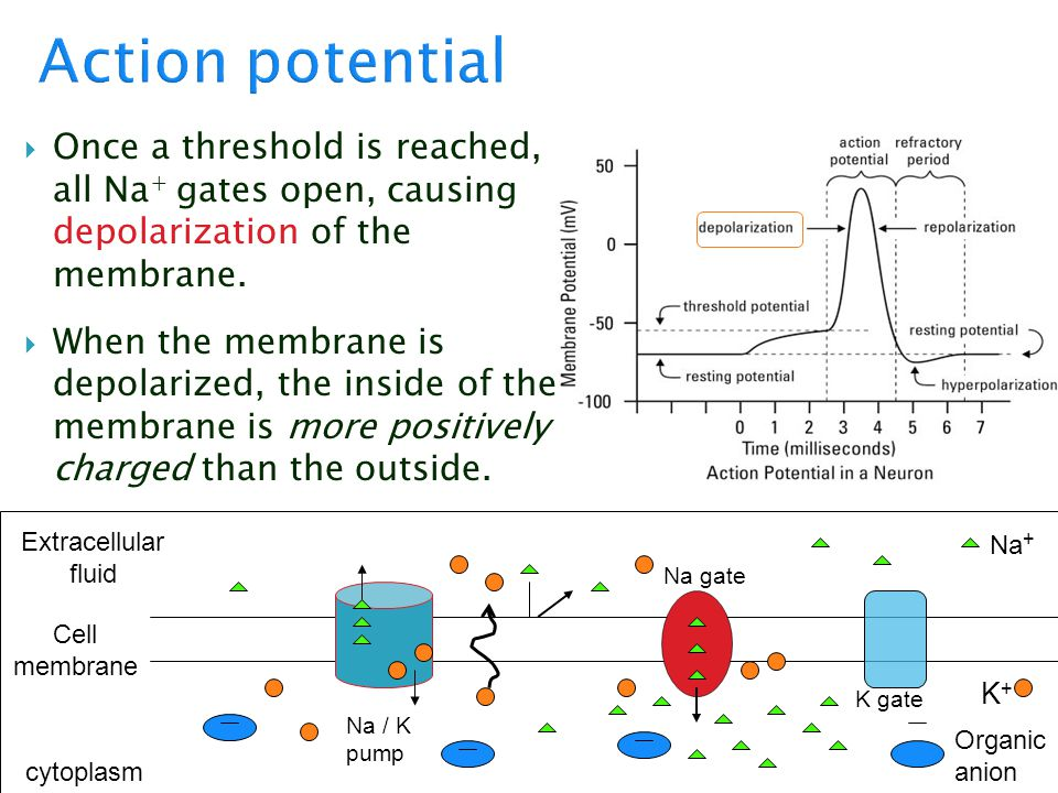 Action potential Once a threshold is reached, all Na+ gates open, causing depolarization of the membrane.