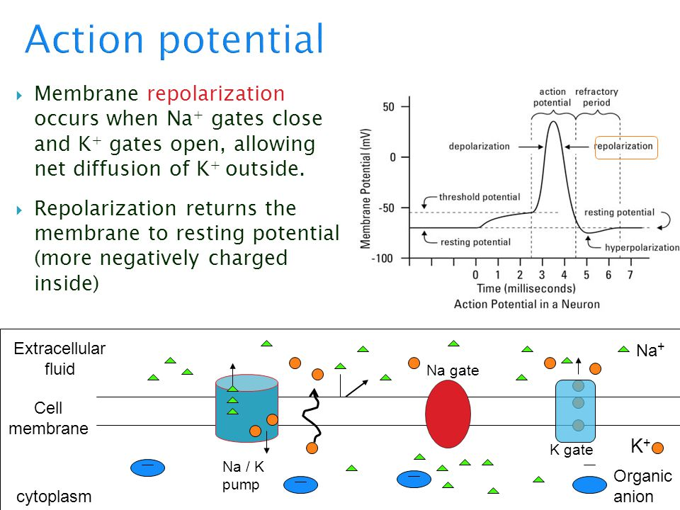 Action potential Membrane repolarization occurs when Na+ gates close and K+ gates open, allowing net diffusion of K+ outside.
