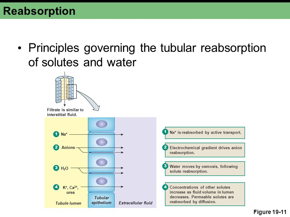 Principles governing the tubular reabsorption of solutes and water