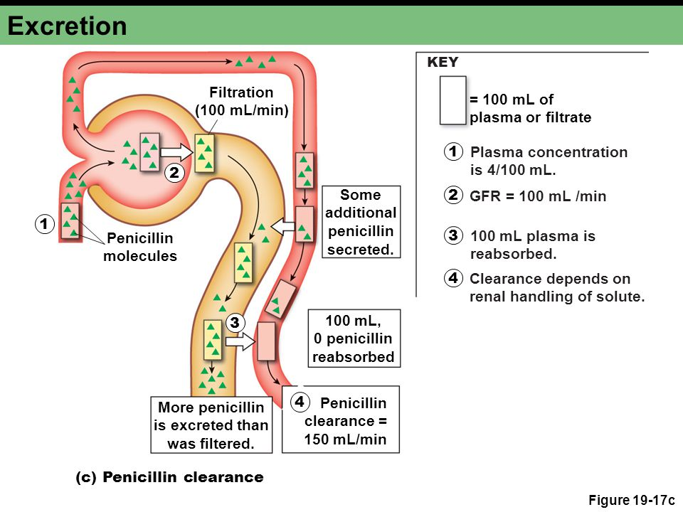Excretion Filtration (100 mL/min) = 100 mL of plasma or filtrate 1