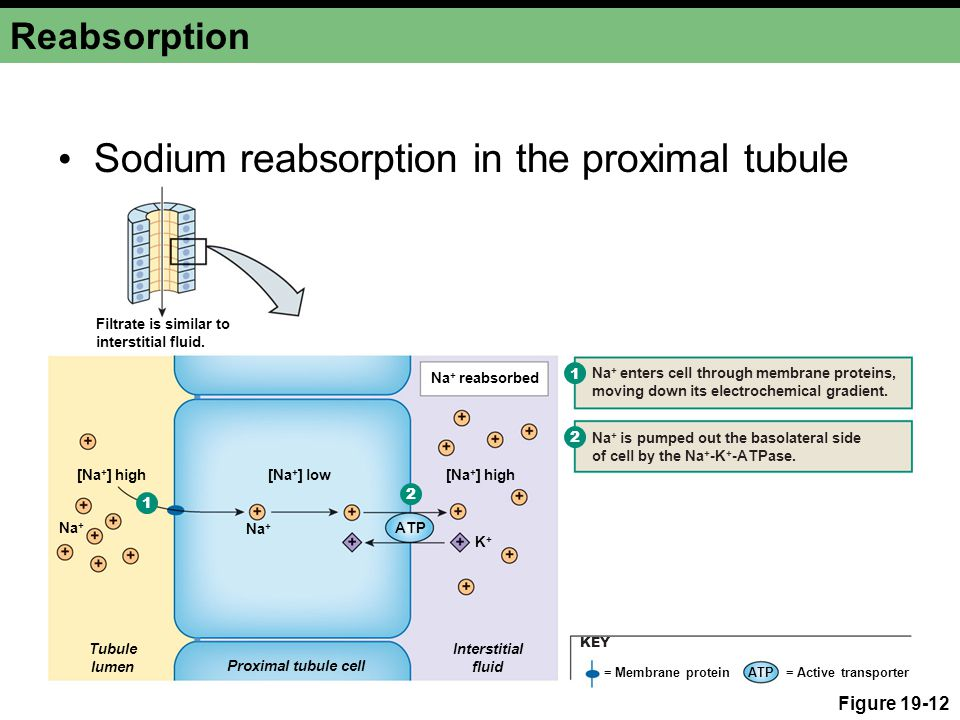 Sodium reabsorption in the proximal tubule