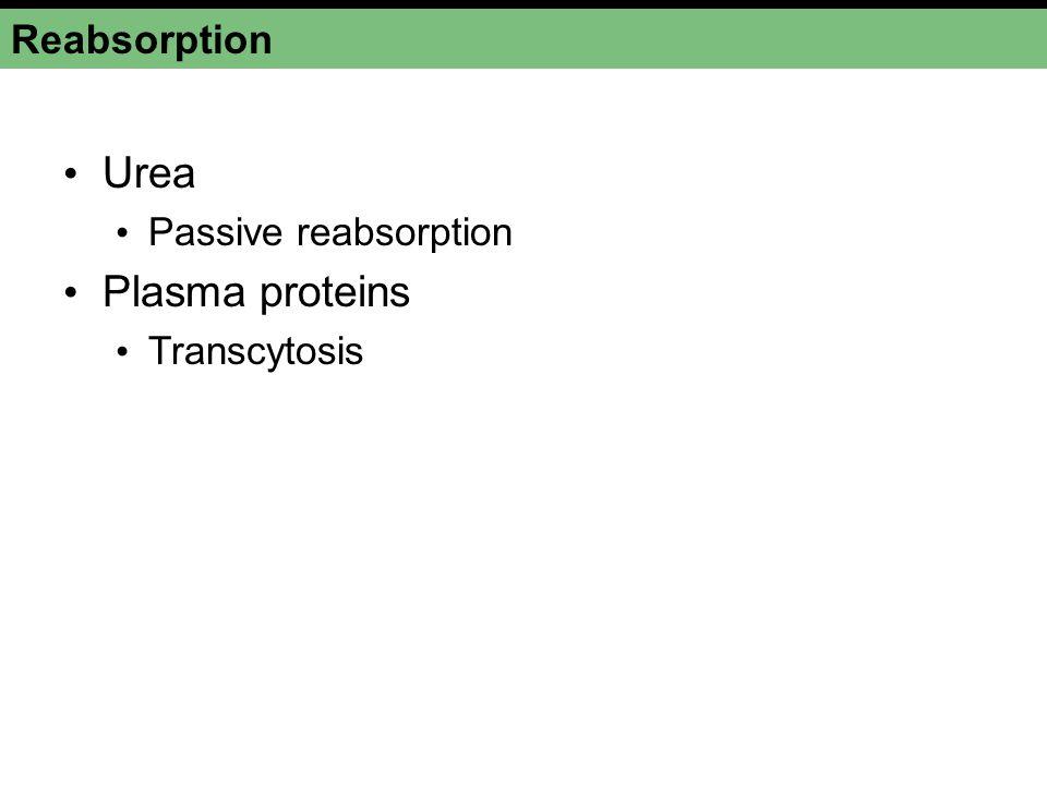 Reabsorption Urea Passive reabsorption Plasma proteins Transcytosis