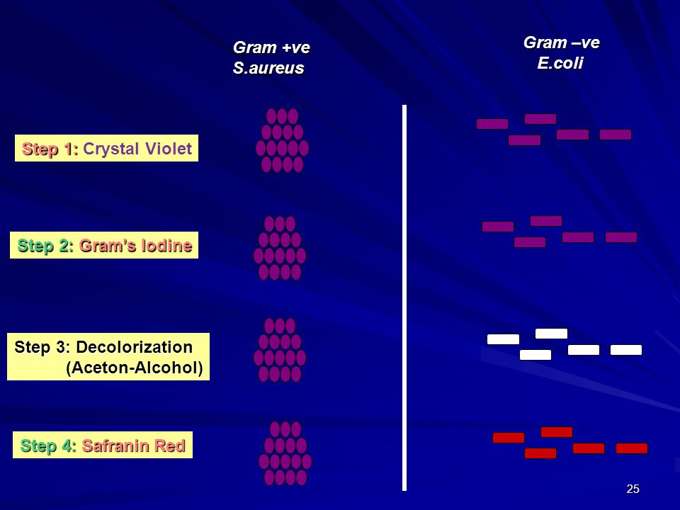 Gram –ve E.coli. Gram +ve. S.aureus. Step 1: Crystal Violet. Step 2: Gram's Iodine. Step 3: Decolorization.