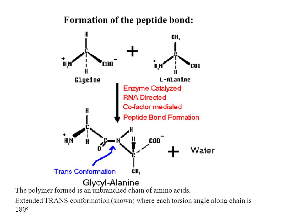 Formation of the peptide bond: