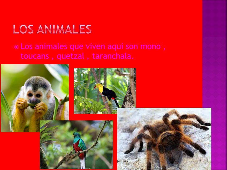 Los animales Los animales que viven aqui son mono , toucans , quetzal , taranchala.