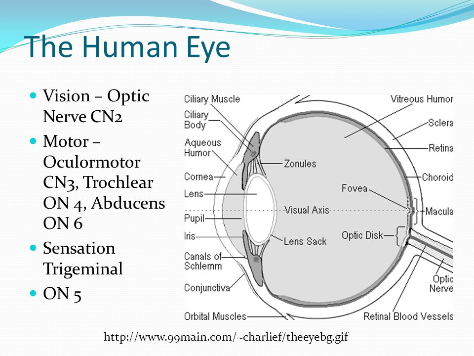 The Human Eye Vision – Optic Nerve CN2
