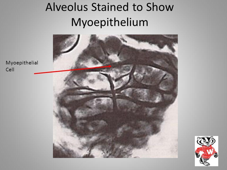Alveolus Stained to Show Myoepithelium