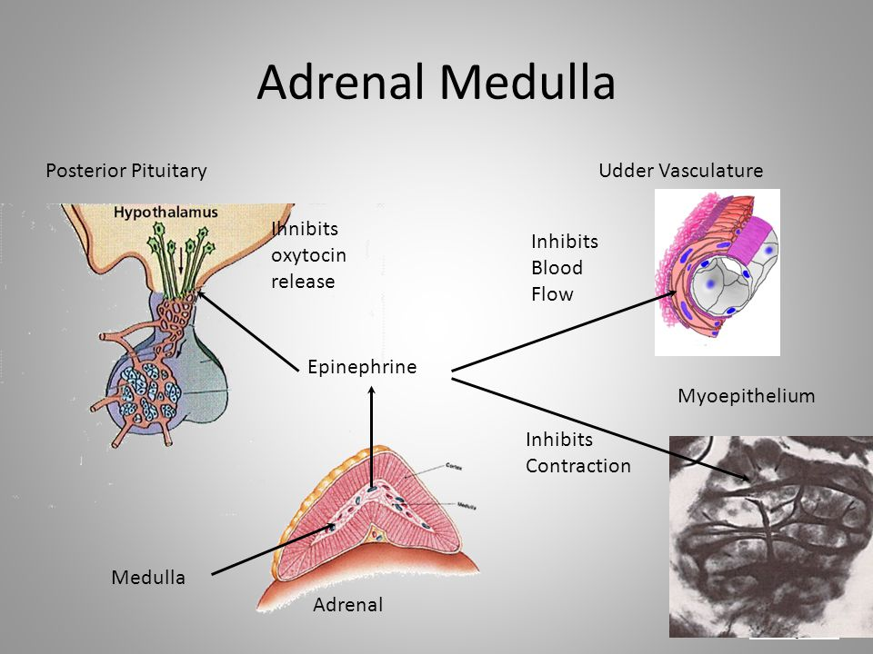 Adrenal Medulla Posterior Pituitary Udder Vasculature