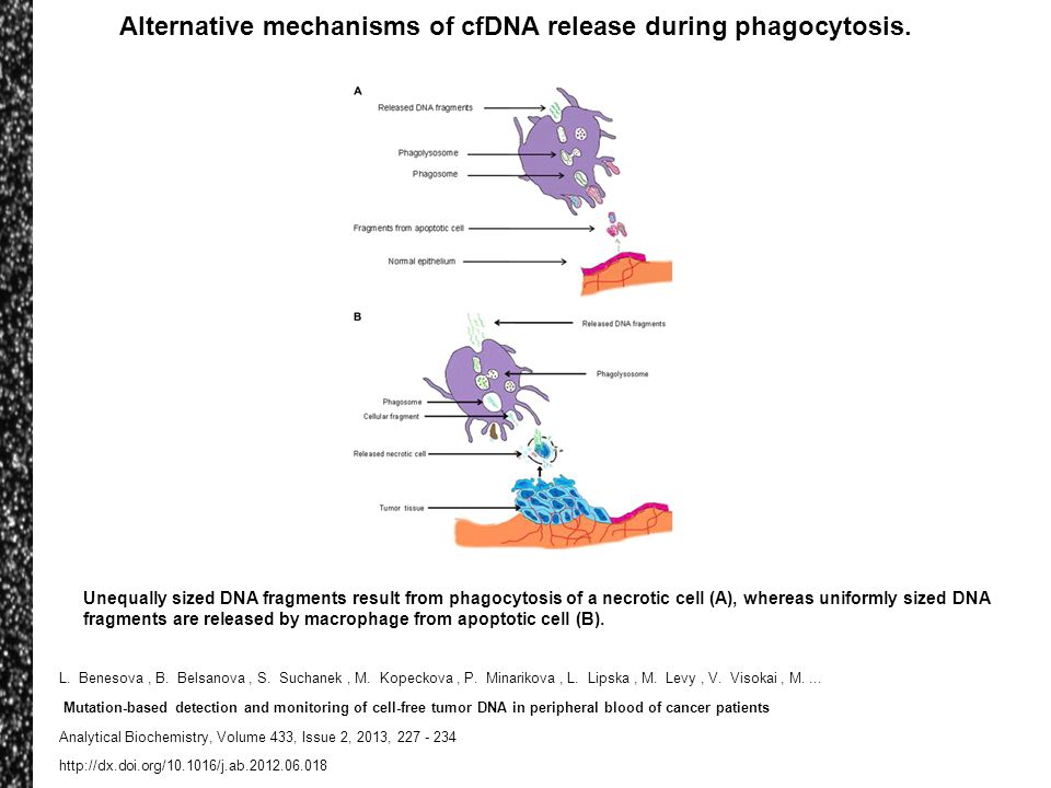 Alternative mechanisms of cfDNA release during phagocytosis.