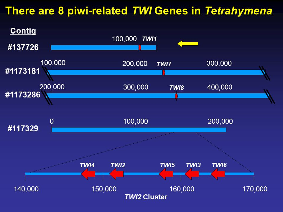 There are 8 piwi-related TWI Genes in Tetrahymena