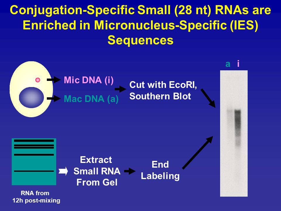 Conjugation-Specific Small (28 nt) RNAs are Enriched in Micronucleus-Specific (IES) Sequences