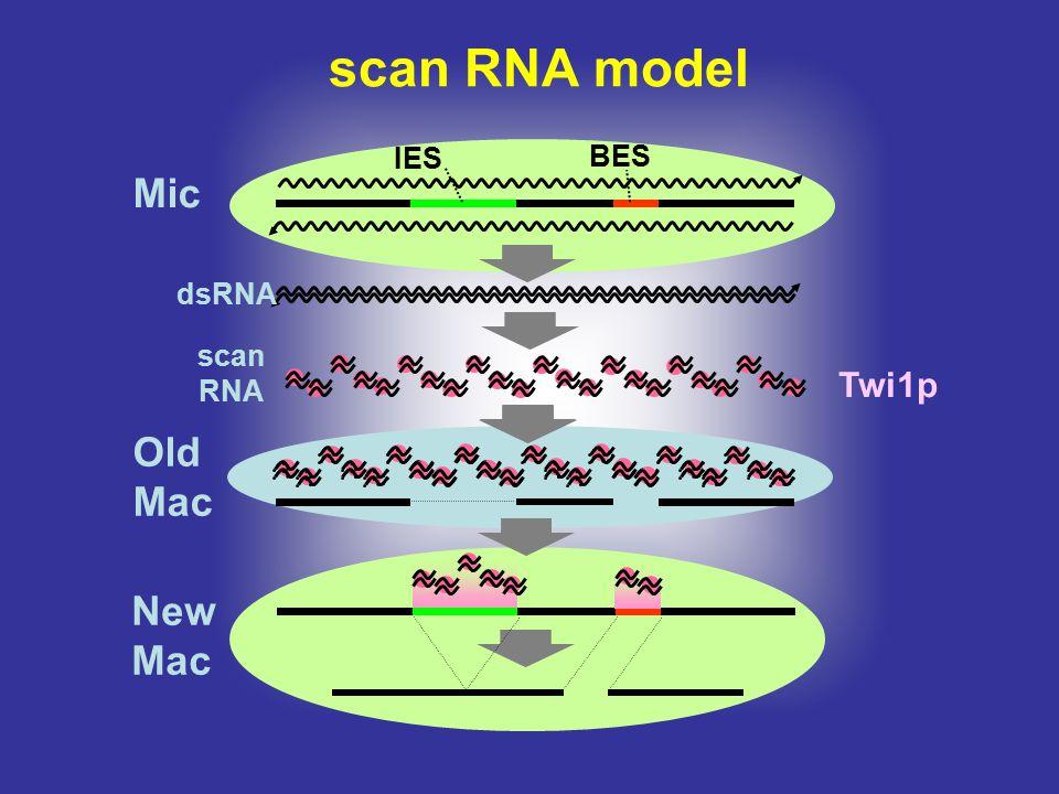 scan RNA model IES BES Mic dsRNA scan RNA Twi1p Old Mac New Mac