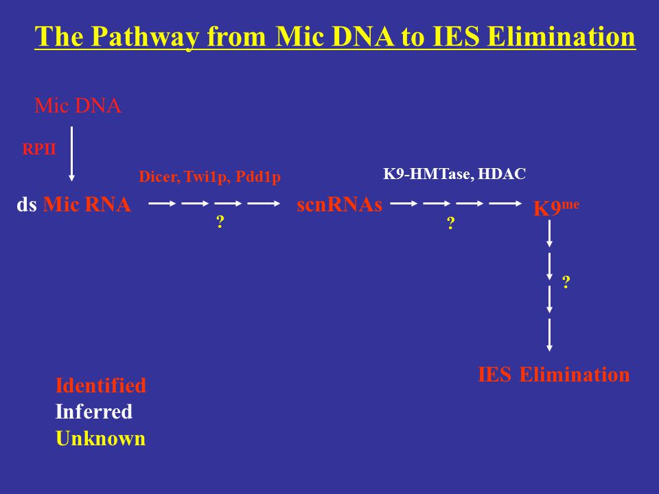 The Pathway from Mic DNA to IES Elimination