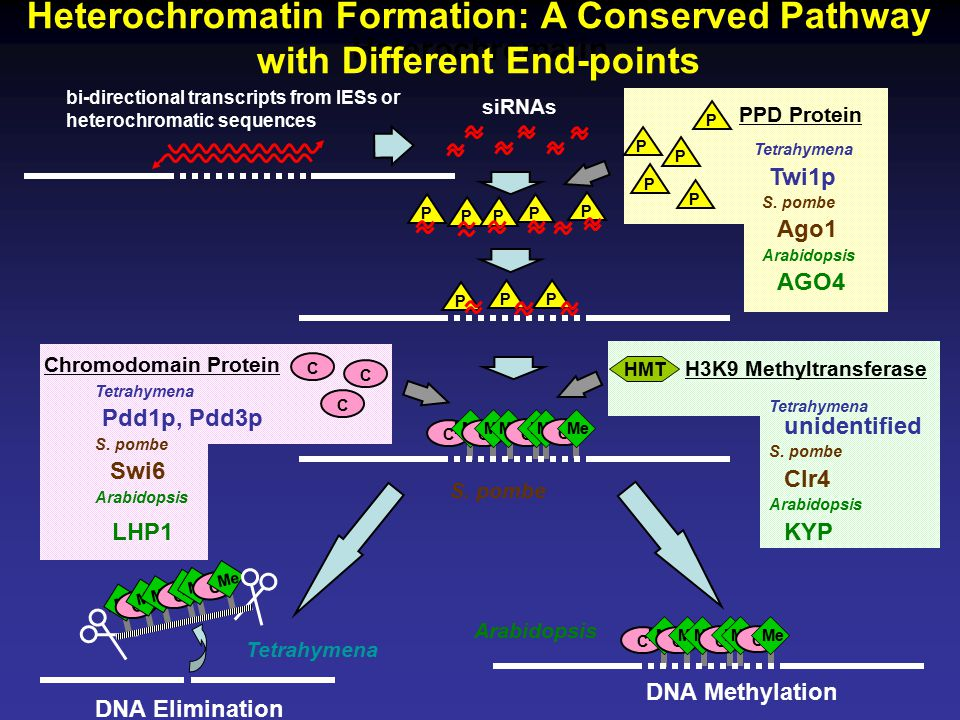 Heterochromatin Formation: A Conserved Pathway with Different End-points