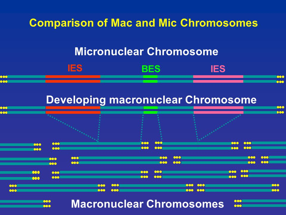 IES BES IES Comparison of Mac and Mic Chromosomes