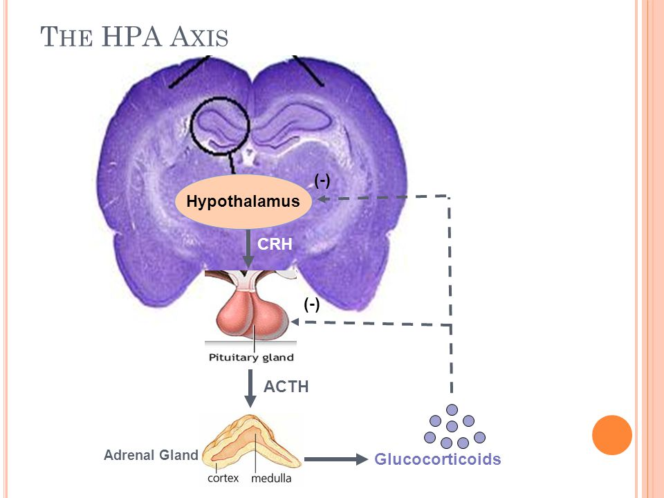 The HPA Axis (-) Hypothalamus CRH (-) ACTH Glucocorticoids