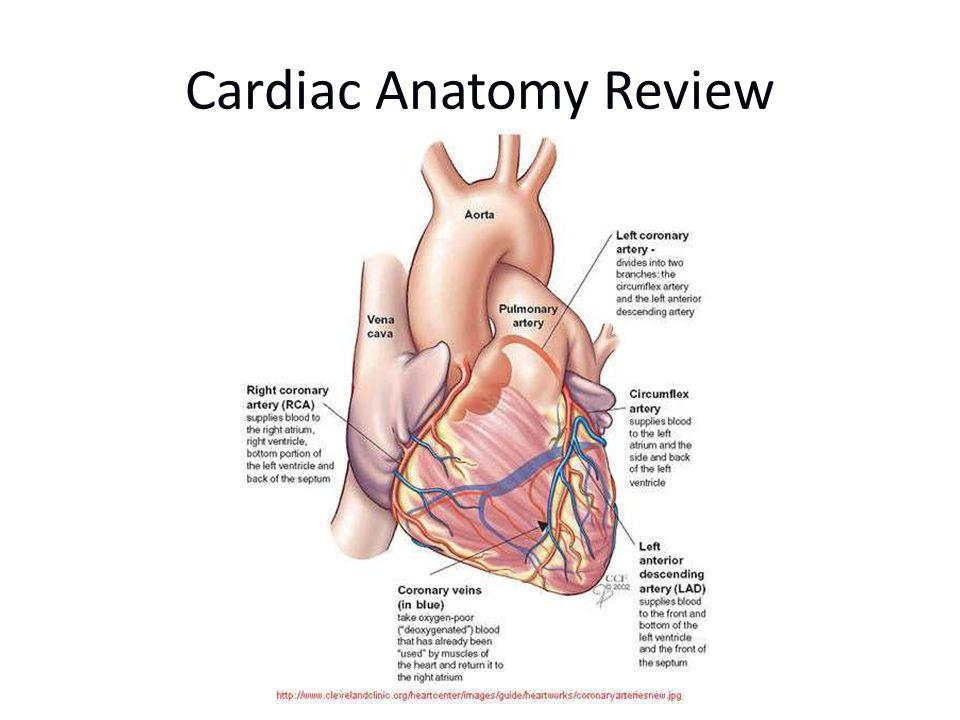 Cardiac Anatomy Review