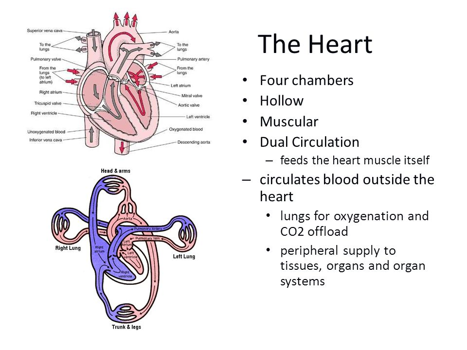 The Heart Four chambers Hollow Muscular Dual Circulation