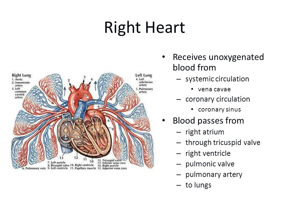 Right Heart Receives unoxygenated blood from Blood passes from