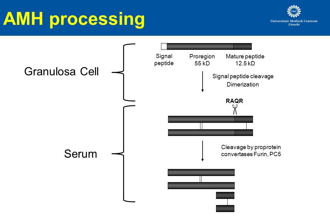 AMH processing Granulosa Cell Serum Signal peptide Proregion 55 kD