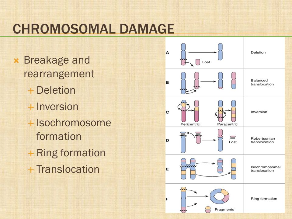 Chromosomal Damage Breakage and rearrangement Deletion Inversion