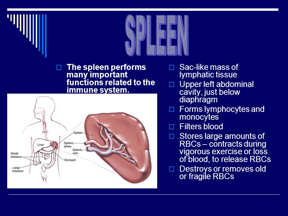 SPLEEN The spleen performs many important functions related to the immune system. Sac-like mass of lymphatic tissue.