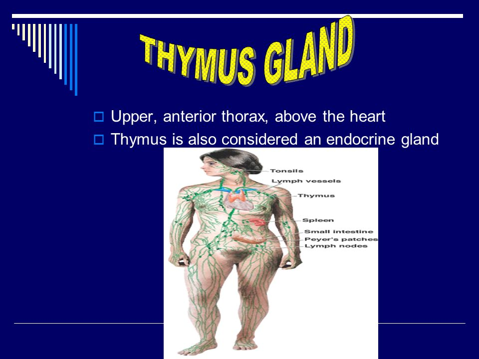 THYMUS GLAND Upper, anterior thorax, above the heart