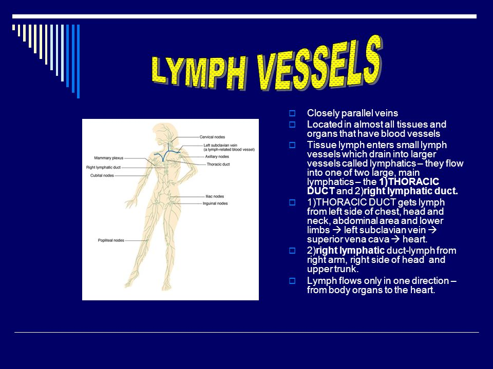 LYMPH VESSELS Closely parallel veins