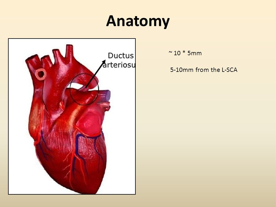 Anatomy ~ 10 * 5mm 5-10mm from the L-SCA