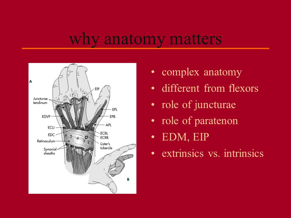 why anatomy matters complex anatomy different from flexors