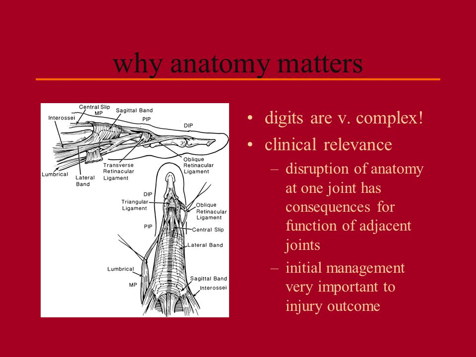 why anatomy matters digits are v. complex! clinical relevance