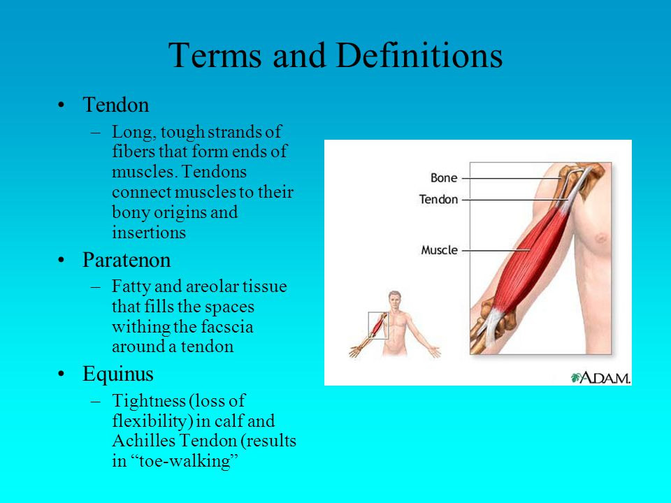 Terms and Definitions Tendon Paratenon Equinus