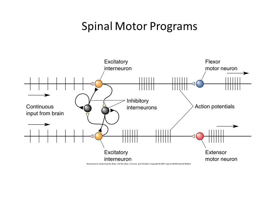 Spinal Motor Programs