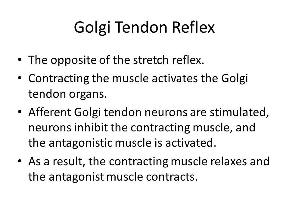Golgi Tendon Reflex The opposite of the stretch reflex.