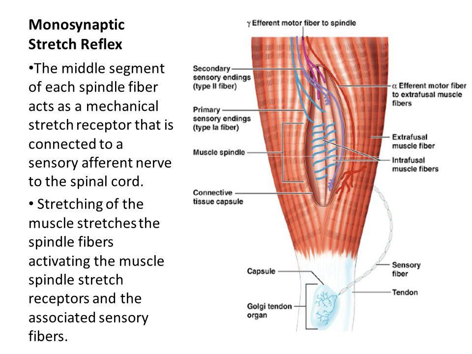 Monosynaptic Stretch Reflex
